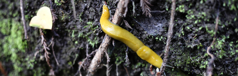 a real banana slug